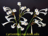 Cyrtanthus Mackenii Cream