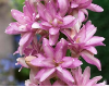 Double Pink Polianthes Tuberosa