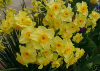 Narcissus Golden Dawn (small)