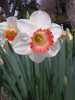 Daffodil/Narcissus PINK CHARM 12-14