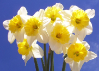 Daffodil/Narcissus Ice Follies