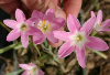 Zephyranthes Pink Beauty