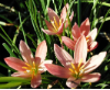 Coral Rain Lily | Zephyranthes Prairie Sunset