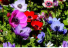 "MIXED SINGLE ANEMONE Coronaria ""De Caen"""