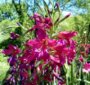 Heirloom Gladiolus Byzantinus
