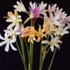 Lycoris Longituba Mix