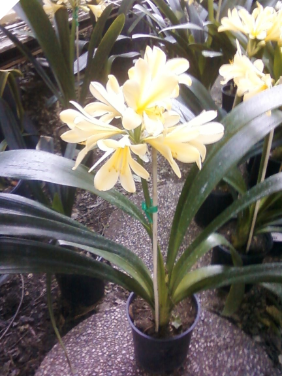 CLIVIA MINIATA Yellow (trimmed)