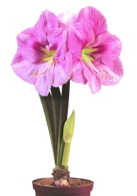 Amaryllis BLUSHING BRIDE ®