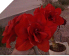 Amaryllis Double King 30 cm (SKU: AN119)