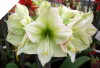 Amaryllis Emerald Dawn