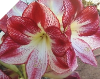 Amaryllis FLAMENCO QUEEN Jumbo 34+ bulbs