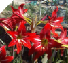 Amaryllis X Johnsonii SMALL BULBS (SKU: AJ2)