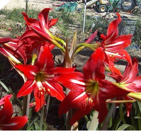 Amaryllis X Johnsonii SMALL BULBS