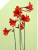 Hardy Amaryllis Red Rascal (SKU: AN127)
