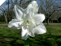 Amaryllis Snow White®