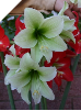 Amaryllis GREEN DRAGON ® (discontinued by Hadeco) (SKU: AH1)