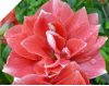 Amaryllis DOUBLE DREAM®