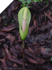 Amorphophallus Nepalensis VOODOO LILY