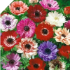 "MIXED DOUBLE ANEMONE Coronaria ""St. Brigid"""