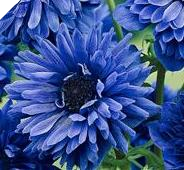 "BLUE DOUBLE ANEMONE ""Lord Lieutenant"""