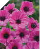 "PINK ANEMONE ""Sylphide"""