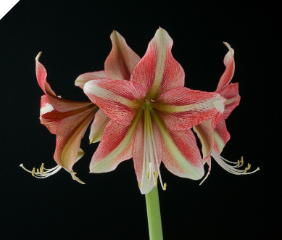 Amaryllis Opal Star (aka Cherry Crush)