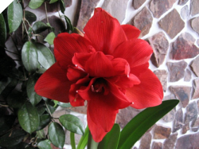 Amaryllis RED NYMPH®
