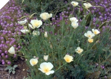 White California Poppy 1 Ounce