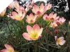 Zephyranthes PACIFIC SUNSET
