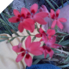 10 Freesia Laxa Seeds (Can Bloom First Year)