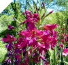 Heirloom Gladiolus Byzantinus (small bulbs)