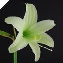 Hippeastrum Japanese: Green Lady