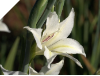 Gladiolus colvillii THE BRIDE