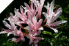 Lycoris Incarnata - PEPPERMINT SPIDER LILY