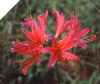 Lycoris Kifujin Japan