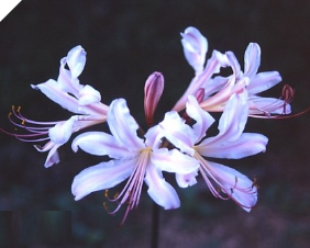 Lycoris Sharaku