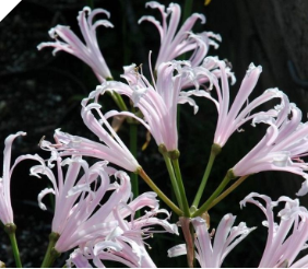 NERINE LIGHT PINK MIX