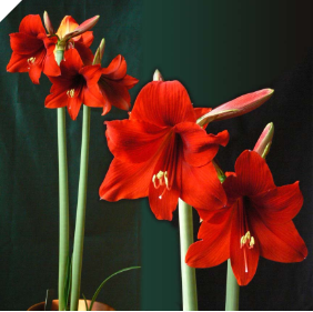 Amaryllis Little Devil ®