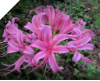 Lycoris JACKSONIANA ROSE Japan