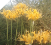 Lycoris Aurea Small-Medium bulbs