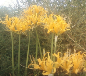 Lycoris Aurea - YELLOW SPIDER LILY