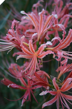 Lycoris Blushing Lady JAPANESE HYBRID