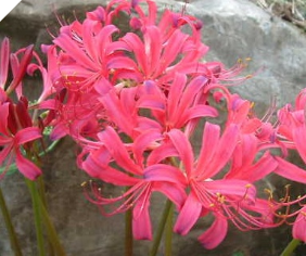 Lycoris Flaming Dragon JAPANESE HYBRID