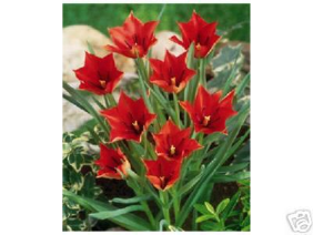 Red Linifolia Species Tulips