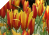 Clusiana Tubergen's Gem Tulips