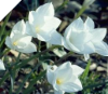 Zephyranthes Drummondii (seedling bulbs)