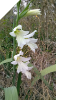 Gladiolus Texas Snowflurry (small corms)