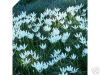 WHITE RAIN LILY | Zephyranthes Candida