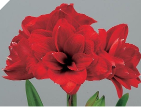 Amaryllis Double Dragon Jumbo 34+ cm Cir