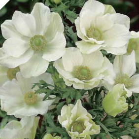 "WHITE ANEMONE ""The Bride"""